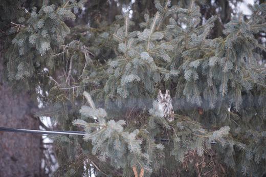 Long Earred Owl 4