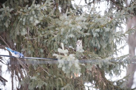 Long Earred Owl8