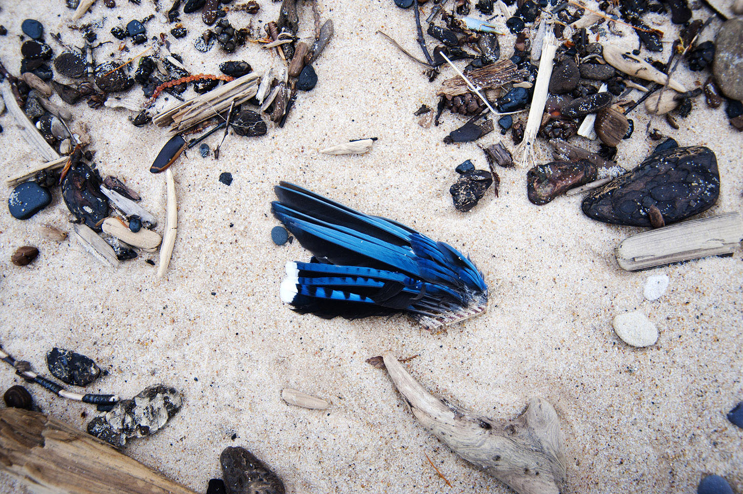 Blue Jay wing in the sand